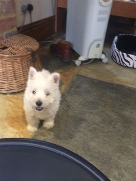 black west highland terrier puppies for sale stunning full pedigree west highland terrier puppies
