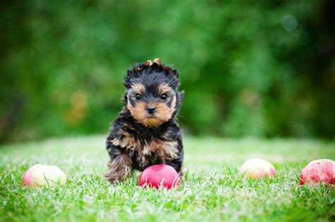 yorkie names for males yorkie names for boys like yours