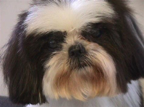 shih tzu for adoption shih tzu rescue design bild