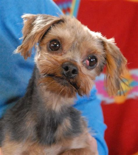 yorkie rescue massachusetts 17 best ideas about yorkie puppies for adoption on teacup yorkie for