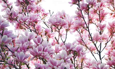 magnolia wallpaper magnolia backgrounds 4k download