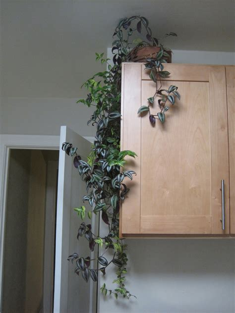 indoor vine indoor climbing plants how to grow climbing houseplants