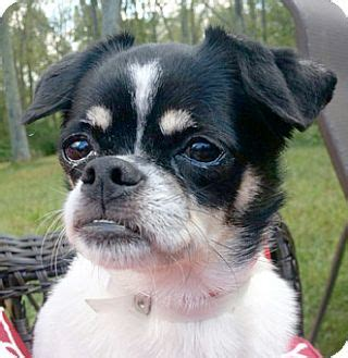pugs for adoption in ct canterbury ct chihuahua pug mix meet pebbles a for adoption