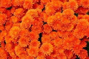 orange mums orange pinterest