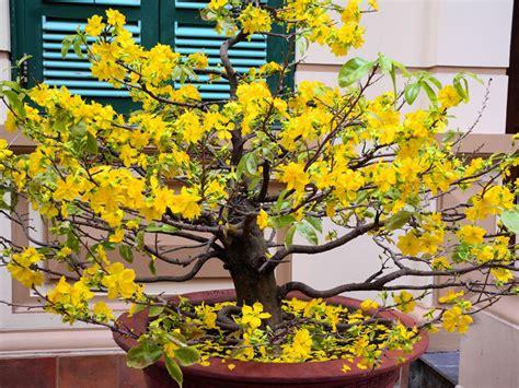 new year flower tree tet flower in hanoi 2012