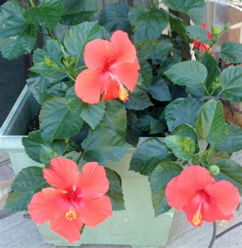 Hibiscus In Planters by Five Easy Tips On Potted Hibiscus
