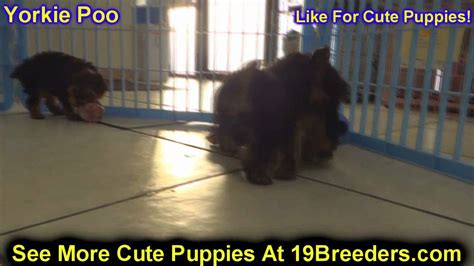 yorkies for sale in kansas city area yorkie poo puppies for sale in wichita kansas ks pittsburg hays liberal