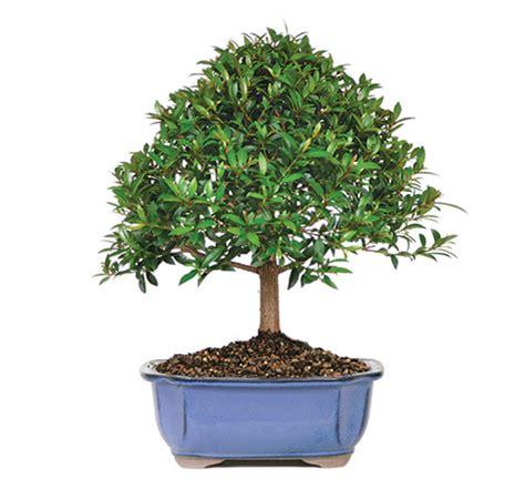 Indoor Herb Pots brush cherry bonsai care