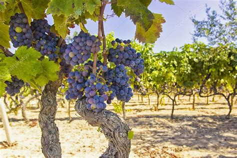 Immagini Di Uva by Tralci Di Vite E Uva Foto Stock 169 Staraldo 124807380