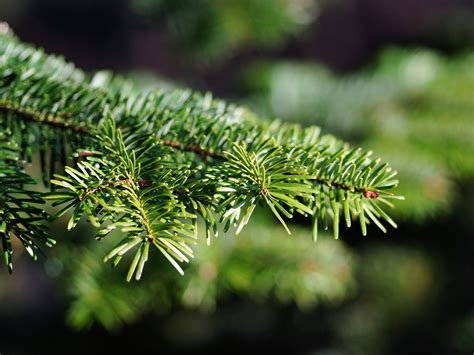 real christmas tree sydney where to buy trees in sydney