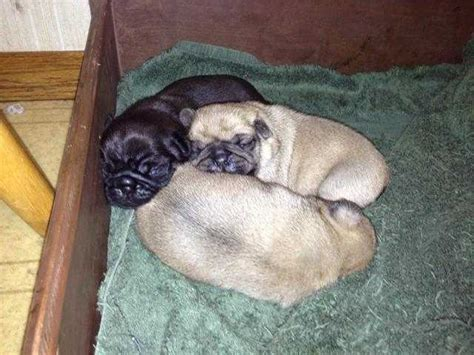 pug adoption oregon akc pug puppies for sale adoption from eugene oregon adpost classifieds