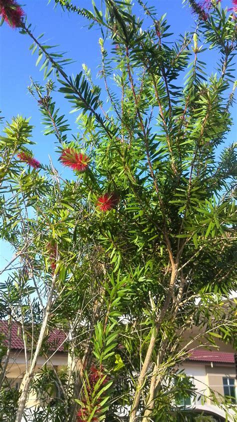 namakucella pokok bunga  depan pagar
