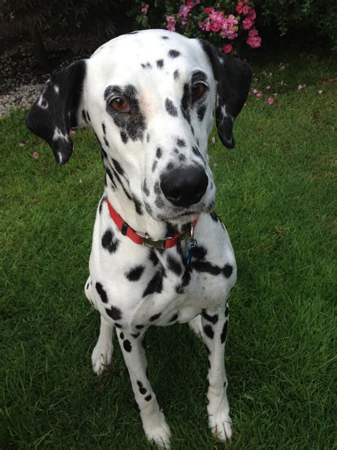 rottweiler and dalmation mix the gallery for gt dalmatian shepherd mix