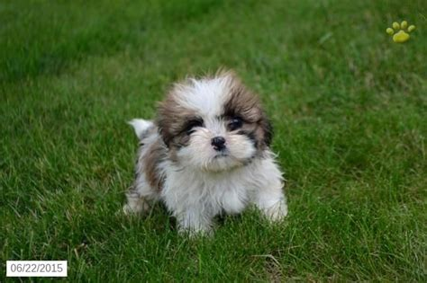 shih tzu for sale ohio 25 best ideas about shih tzu for sale on shih tzu maltese mix bichon