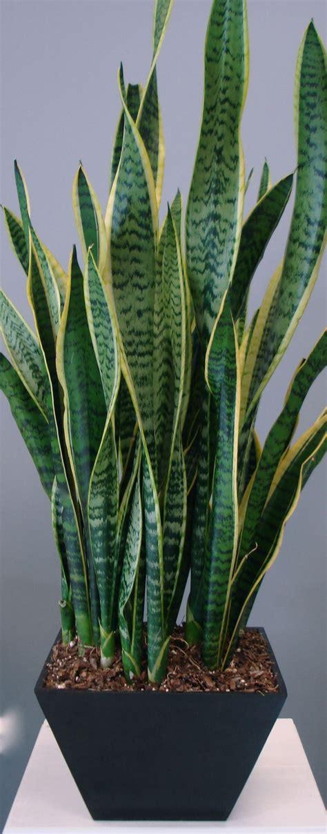 580 best images about sansevieras on pinterest snake plant succulents and sansevieria plant