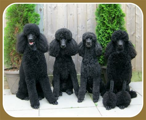 black poodle lifespan black standard poodle puppies for sale dogs in our