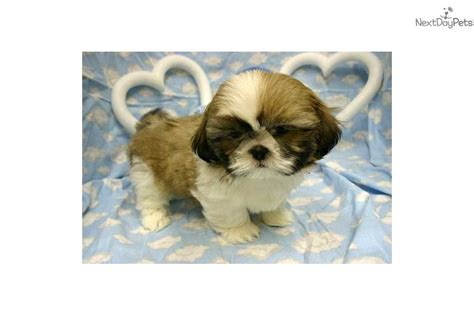 shih tzu puppies for sale near me vaccines near me