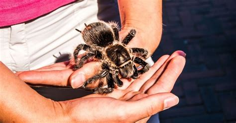 spiderling curly hair spiderlings tarantula care sheet keeping exotic pets the uk reptile blog
