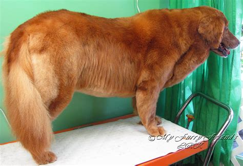 golden retriever hair length pet grooming the the bad the grooming a golden retriever but