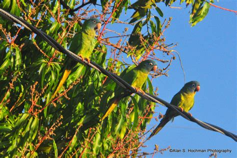 green parrots in south florida