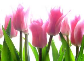 tulips flowers wallpapers tulips images tulips pictures pixhome