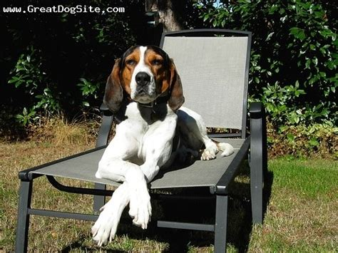 what does a walker hound dog look like gc34g94 sd treeing walker coonhound unknown cache in new