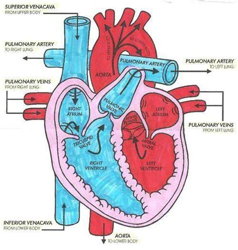 cardiac diagram easy diagram diagrams for all