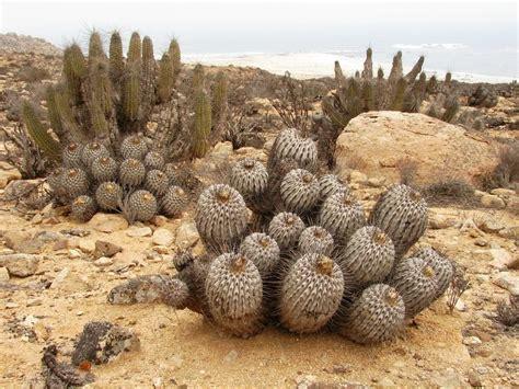 imagenes de animales y plantas del desierto panoramio photo of cactus las plantas reinas del desierto