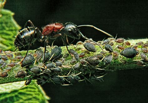 the of ants what do ants eat - Do Ants Eat Aphids