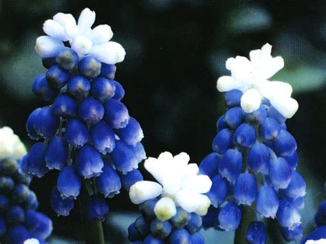 mount hood muscari non toxic to animals for the garden