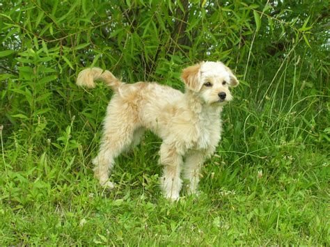 mini goldendoodles health problems goldendoodle a golden retriever poodle mix spockthedog