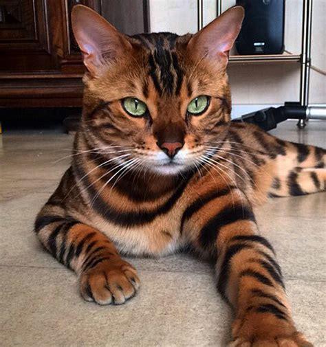 imagenes ironicas de gatos los gatos m 225 s hermosos del mundo mundo es