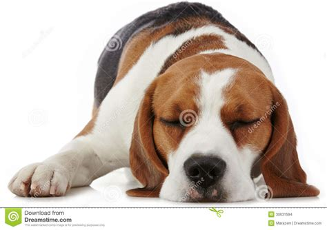 puppy panting in sleep sleeping beagle stock images image 30631594