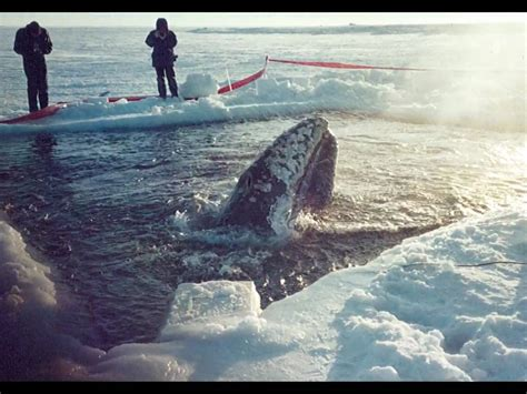 The Miracle Whales Quot Big Miracle Quot Whale Rescue Barrow Alaska