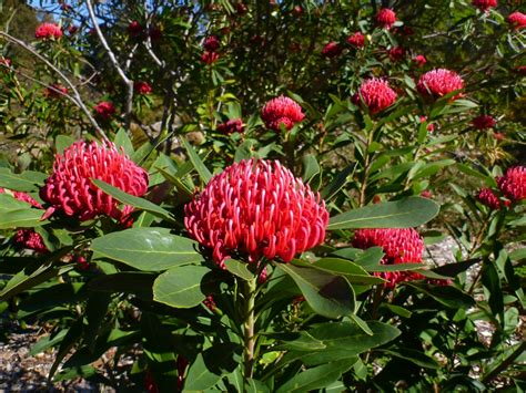 australian flowering shrub australian shrubs gardening with angus