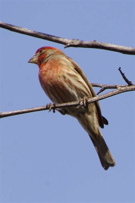 house finch backyard birds of southern california