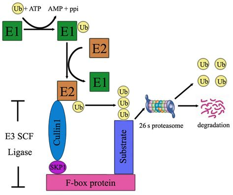 protein f box involvement of f box proteins in esophageal cancer review