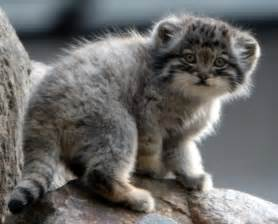 file manul kitten jpg wikimedia commons