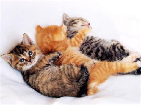 wallpaper chat mignon quelque photos de chats ou chatons trop mimi les zanimaux