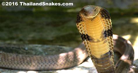 king cobra images king cobra back of