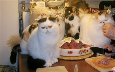 gatto persiano alimentazione l alimentazione gatto gattipersiani it gatti persiani
