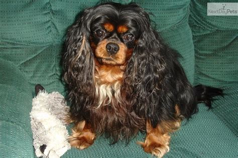 dogs for sale in des moines cavalier king charles spaniel puppy for sale in des moines breeds picture