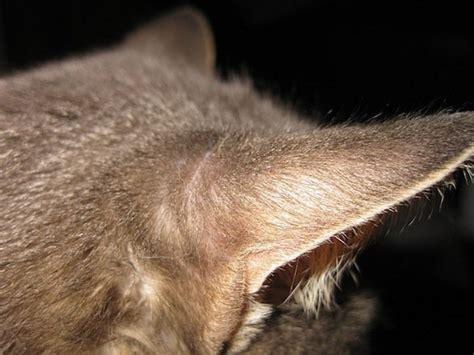 tumore orecchio interno sintomi otite esterna interna e media nel gatto sintomi e cure