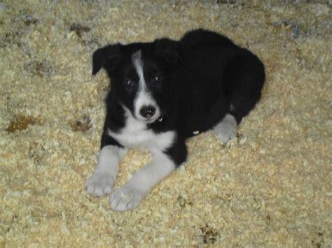 border collie puppies colorado border collie puppies nottingham nottinghamshire pets4homes