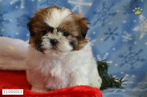 puppy for sale in nj shichon puppy for sale 8 shichon puppies for sale in nj biological science