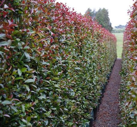 backyard bliss lilly pilly melbourne 54 best images about hedges on pinterest
