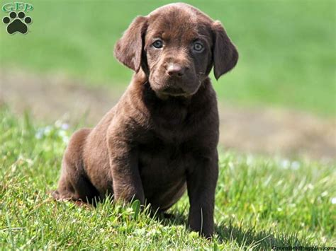 chocolate lab puppies for sale in illinois chocolate labrador retriever puppies dogs our friends photo