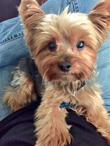 pictures of yorkie haircuts best 25 yorkie ideas on pinterest yorkshire terrier