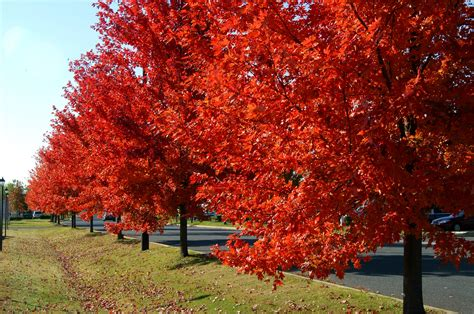 maple tree autumn blaze maples what are the benefits fast growing trees
