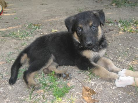 labrashepherd puppies for sale german shepherd lab mix